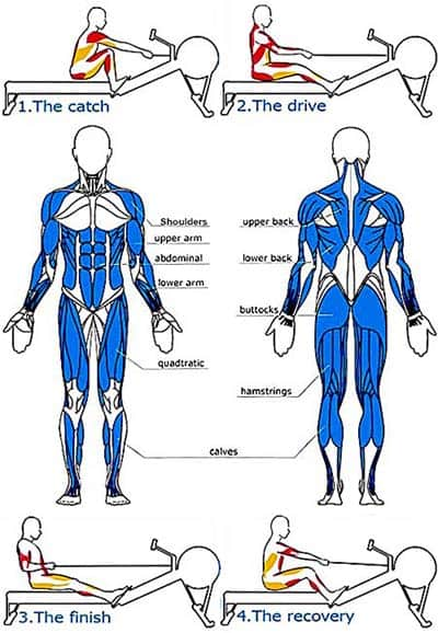 Muscle work stages by Rowing